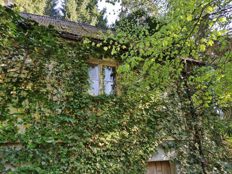 House in the woods. Old abandoned house in the woods with plants growing all over the facade stock photography