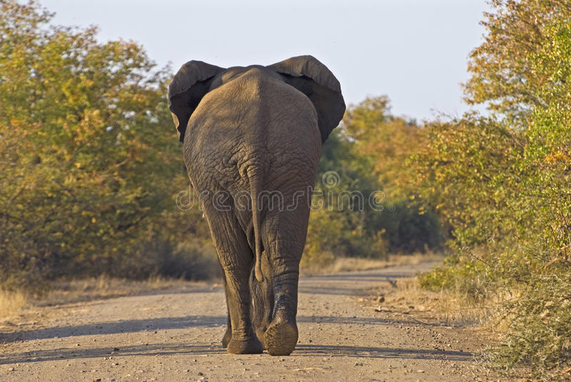 Download Old Africa stock image. Image of kruger, muscular, tall - 11888137