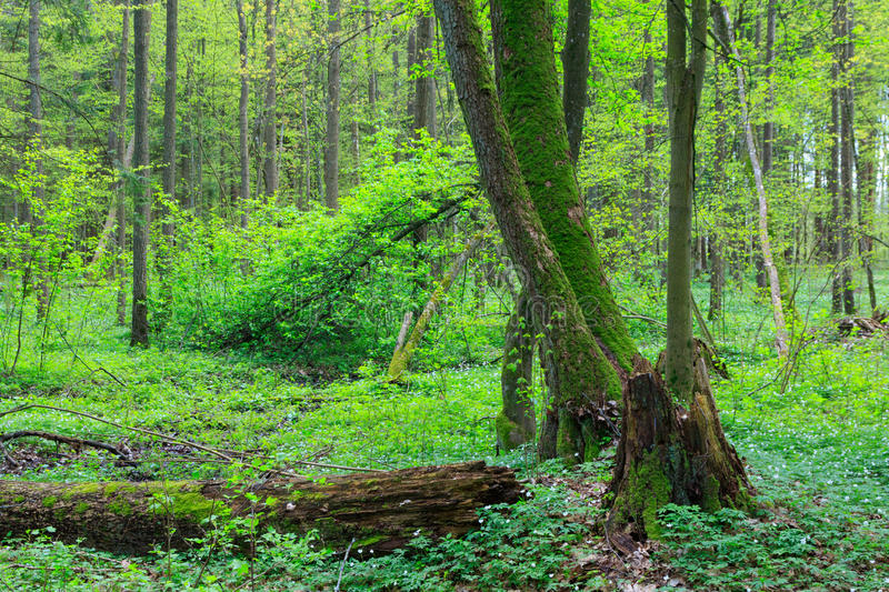 Old alder trees in spring. With broken one in foreground, Bialowieza Forest, Poland, Europe royalty free stock photos