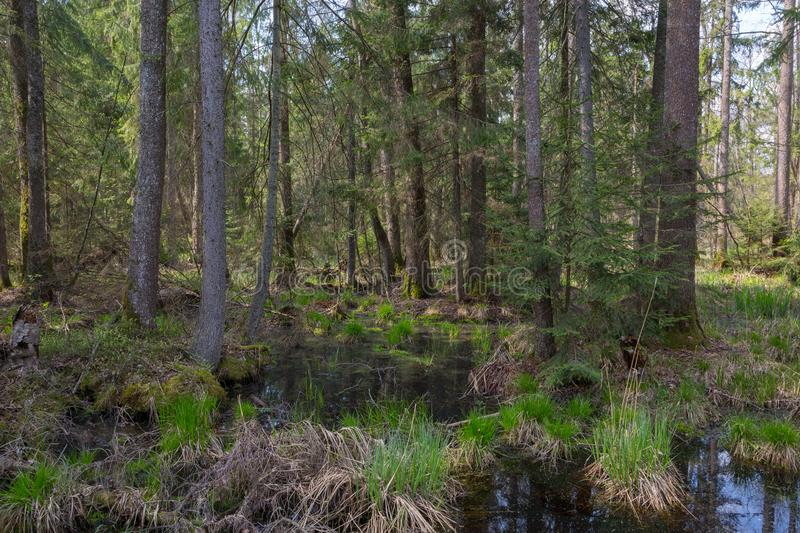 Old alder trees among spruces in springtime. View of wet natural stand of Bialowieza Forest, Bialowieza Forest, Poland,Europe royalty free stock photo
