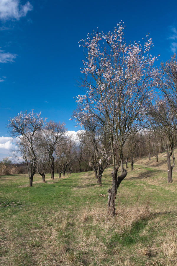 Old almond orchard royalty free stock images