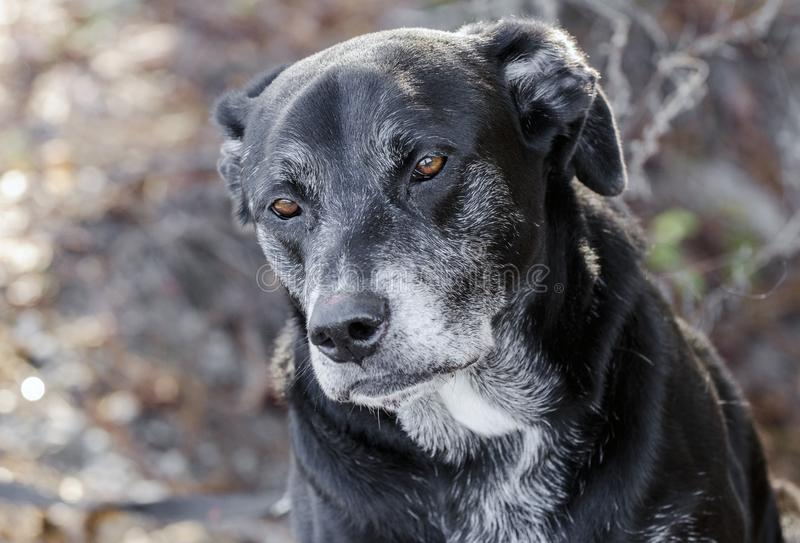 Old Back Labrador Retriever dog with gray muzzle. Senior male old Black Labrador Retriever dog with gray hair muzzle. Outdoor adoption photograph for Walton royalty free stock image