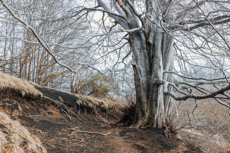 Old bald tree in forest royalty free stock photo