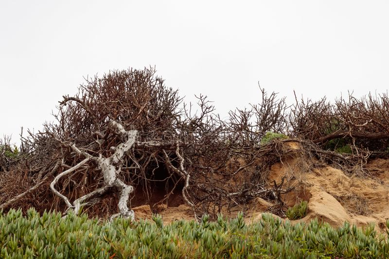 Old bare tree with branches climbing up rocky rough sandstone hillside with iceplant succulent in foreground. White sky in background stock photo