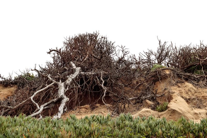 Old bare tree with branches climbing up rocky rough sandstone hillside with iceplant succulent in foreground. White sky in background royalty free stock image