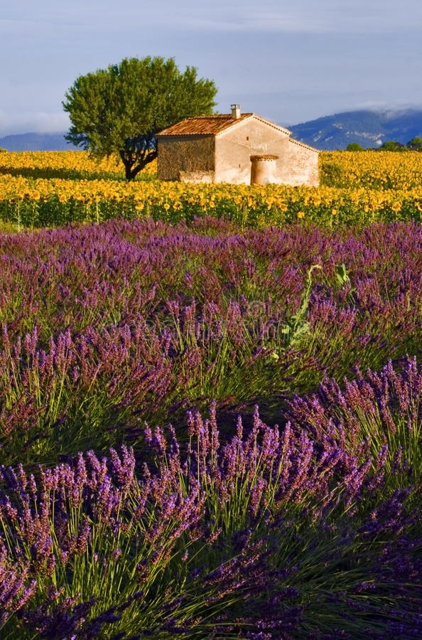 Free Old Barn In SunFlower And Lavender Fields On The Plateau De Valensole Stock Photos - 48847213