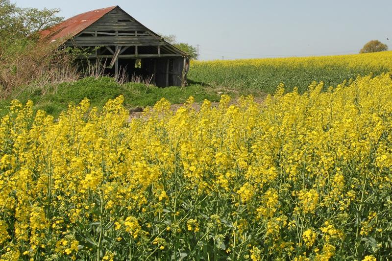 Old barn in Rapeseed crop. Old barn with rusty roof in a crop of Rapeseed Brassicaceae. Yellow, brown, blue royalty free stock photos