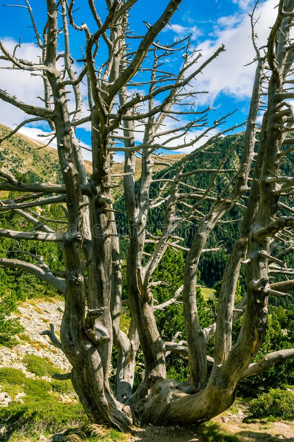 An old barren pine tree. royalty free stock photo