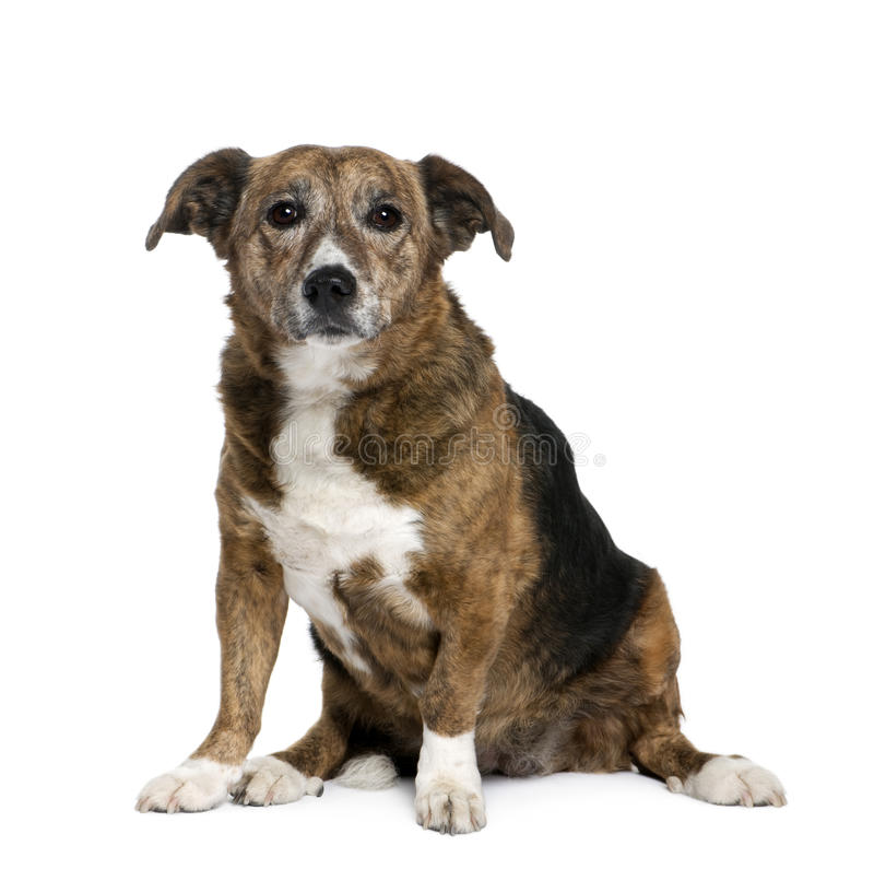 Old Dog In Front Of White Background Stock Photo