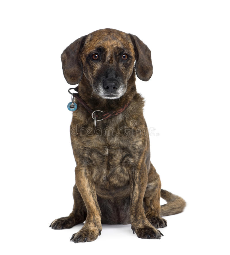 Old Dog Sitting Against White Background Stock Photo