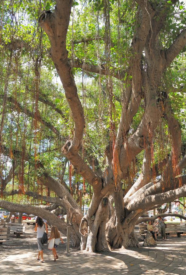 Download Old Bayan Tree editorial stock photo. Image of lahaina - 33672083