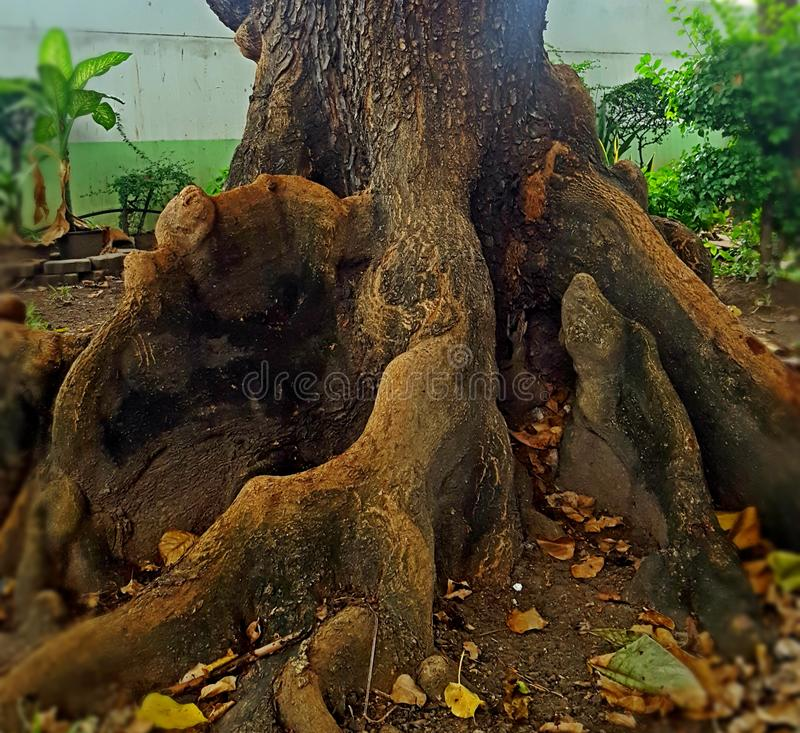 OLD BEAUTIFUL TALISAY TREE ROOTS. This old, beautiful Talisay Tree roots is found in the National Stadium Campus in Bangkok, Thailand. This tree is one of the stock photo