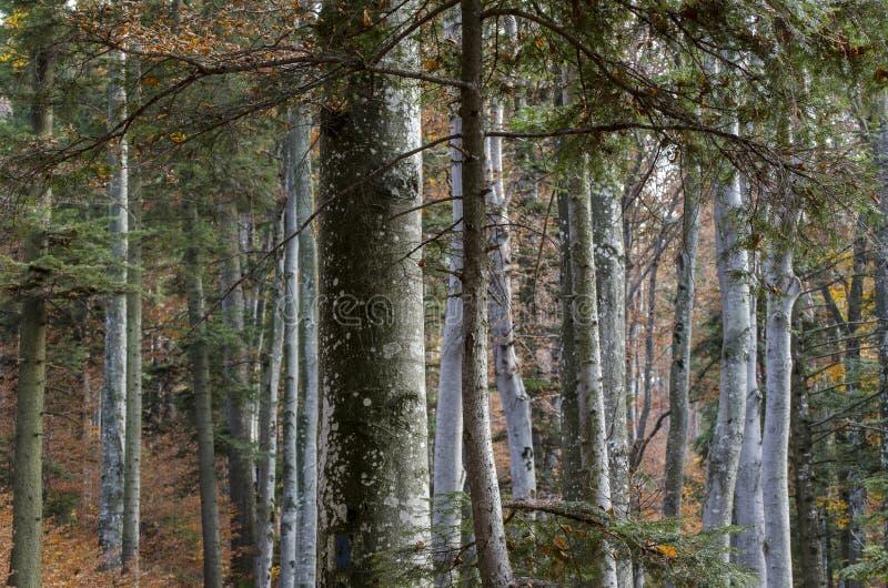 Old beech forest among mountain vegetation stock photo