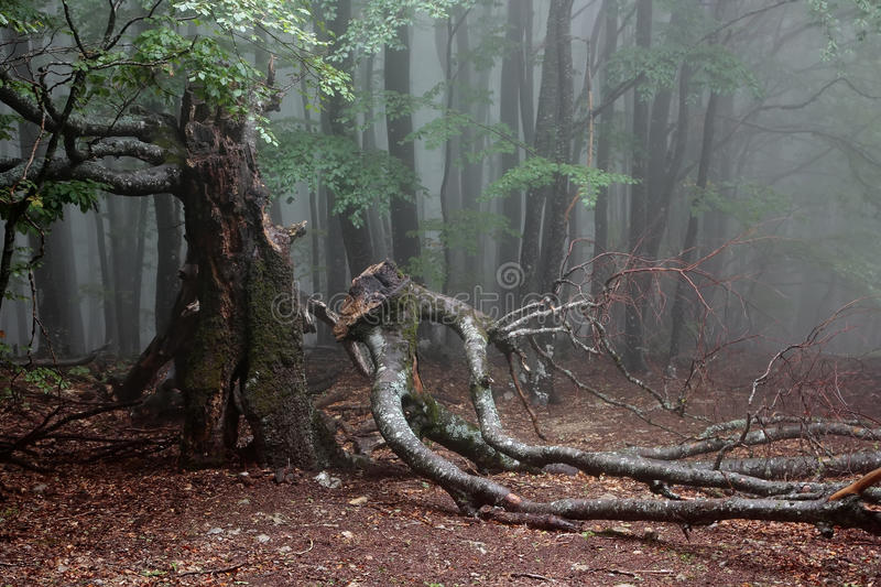 Old beech. In the mountain forest in foggy day. Crimea stock photo