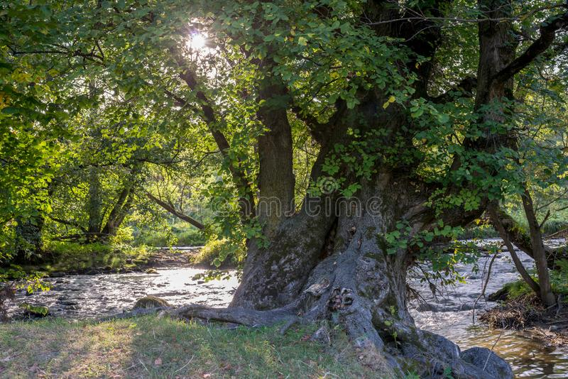 Old beech tree near flowing  Olt river in Transylvania. Romania at sunset royalty free stock image