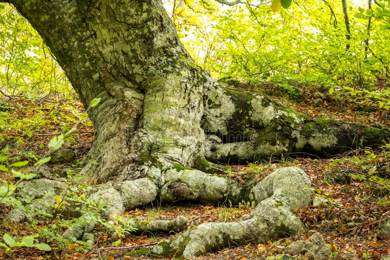 Old beech tree on the slopes of Mount Demerdzhi in the Crimea royalty free stock images