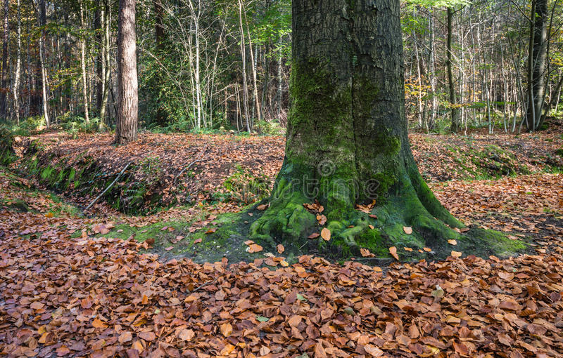 Old beech trunk in an autumnal forest stock images