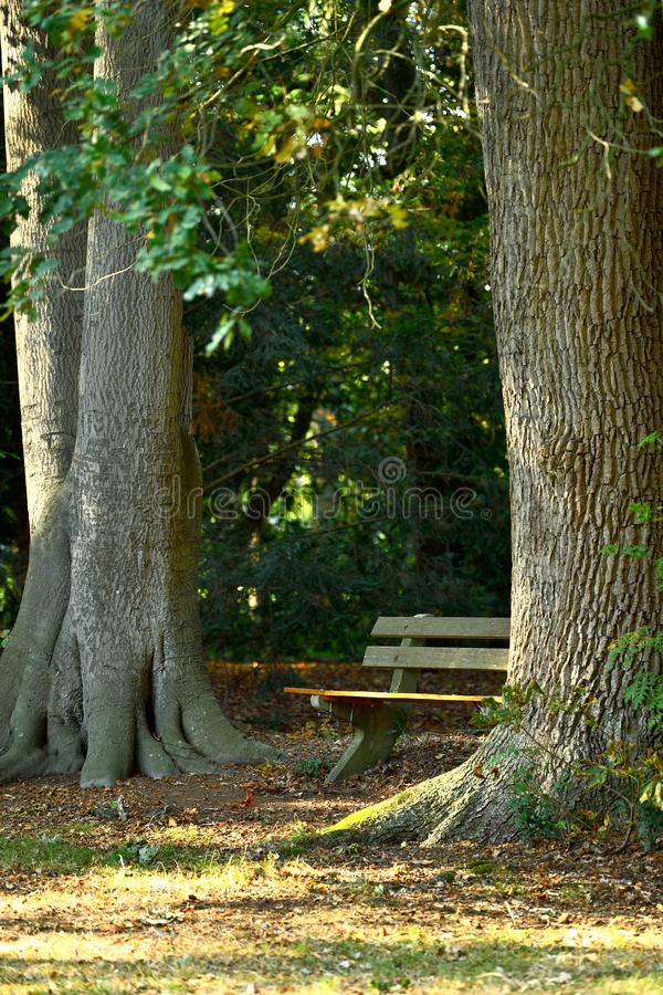 Old bench perched between a big oak and beech tree stock images