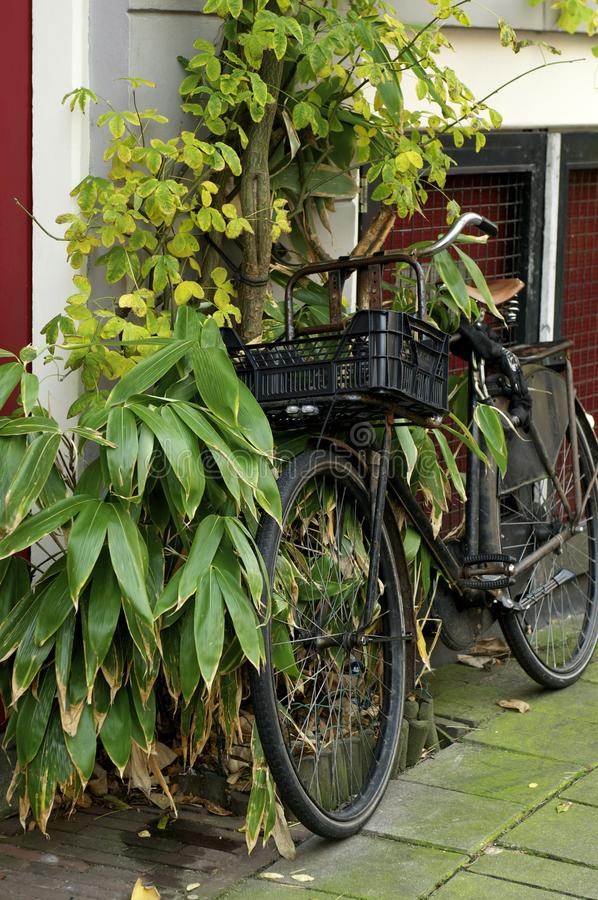 Old bicycle in Amsterdam in autumn. Old bicycle tied to a tree in Amsterdam in autumn royalty free stock image