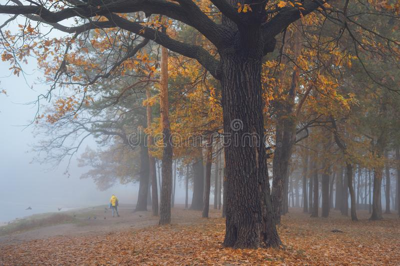 Old big oak in the autumn forest in blue fog. stock images