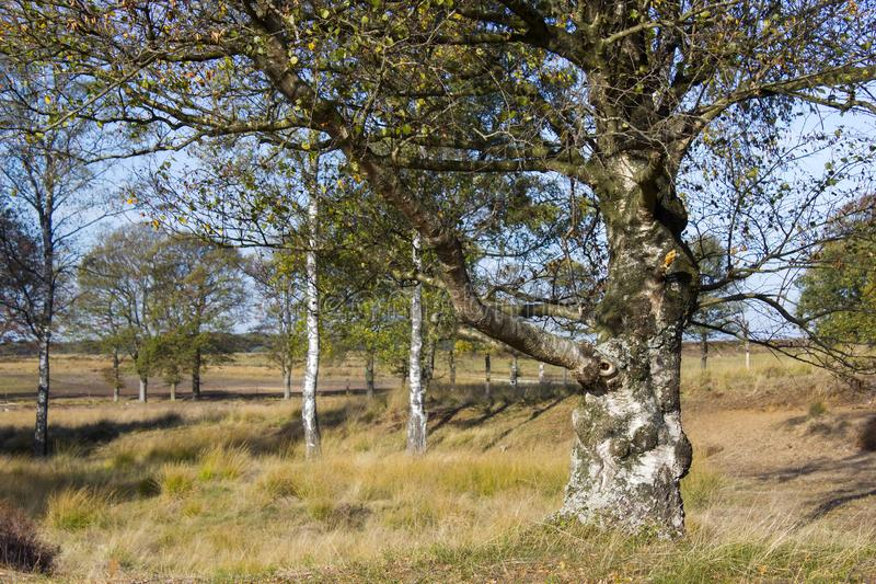 Old birch in National Park Hoge Veluwe, the Netherlands royalty free stock image