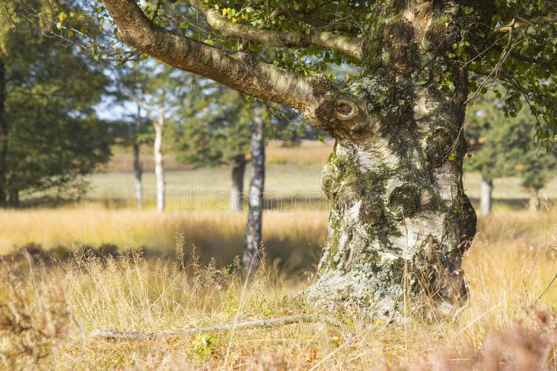 Old birch in National Park Hoge Veluwe, Netherlands. royalty free stock photography