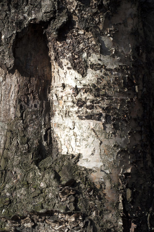 Old birch. Texture, background. Close up of birch bark. stock photo