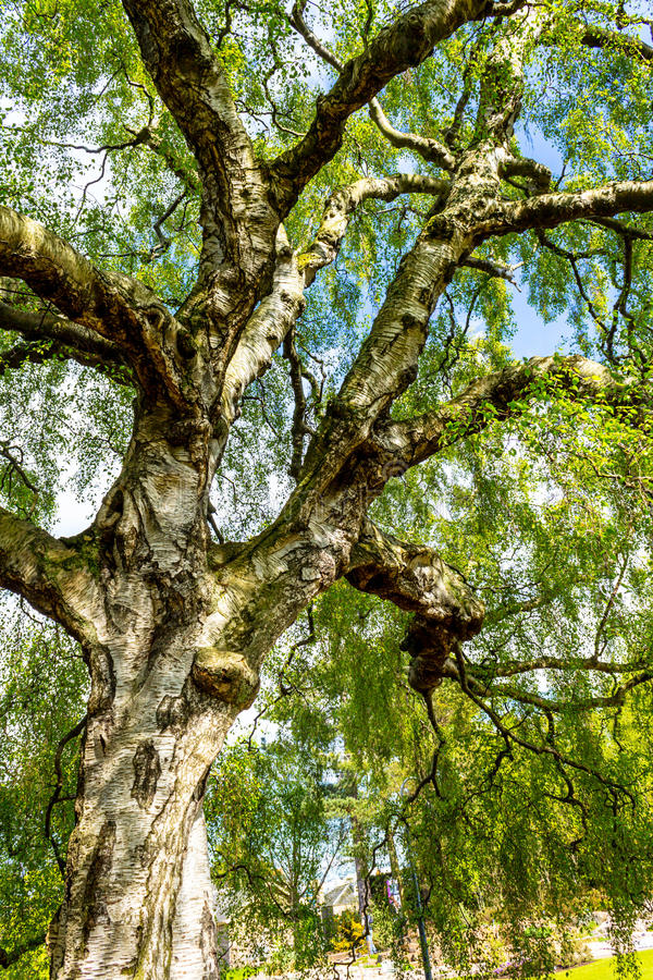 An old birch tree with long branches in Spring time. An old, beautiful birch tree with long branches in Spring time royalty free stock images