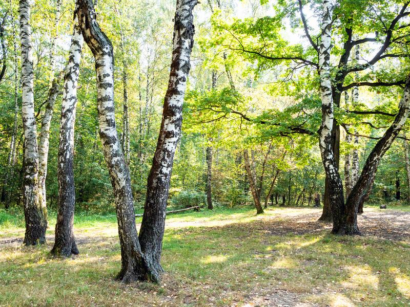 Old birch trees on meadow in yellowing city park. On sunny autumn day stock photography