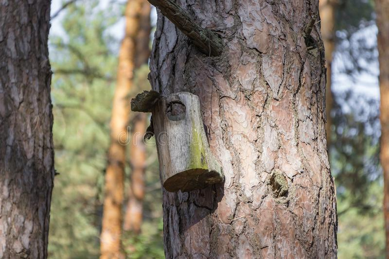 Old birdhouse on a tree for forest birds in the forest. Old ruined birdhouse on a pine tree, the house in the forest is not suitable for forest birds, the royalty free stock photo