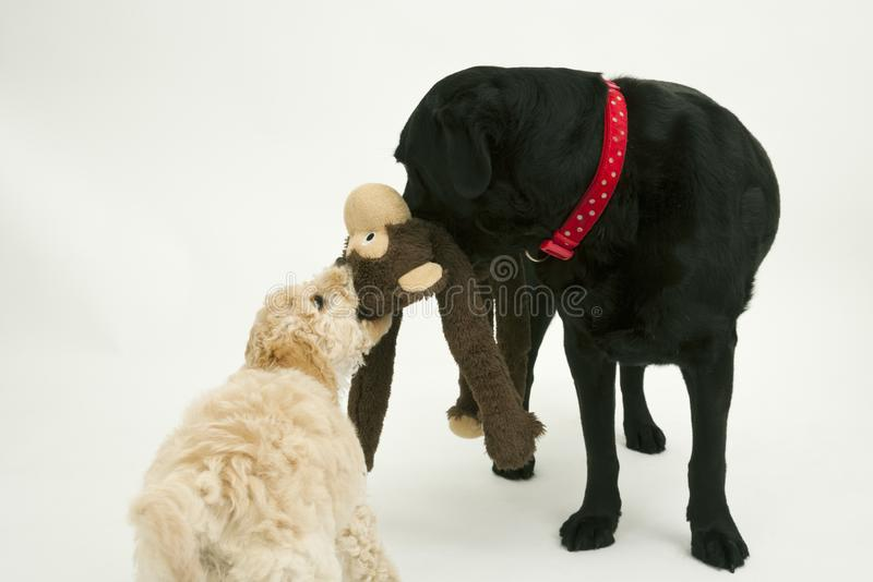 An old black labrador waits as a Cockapoo puppy tries to take a toy away. An elderly black labradorwaits patiently while a cute 12 week old Cockapoo puppy bitch stock photos