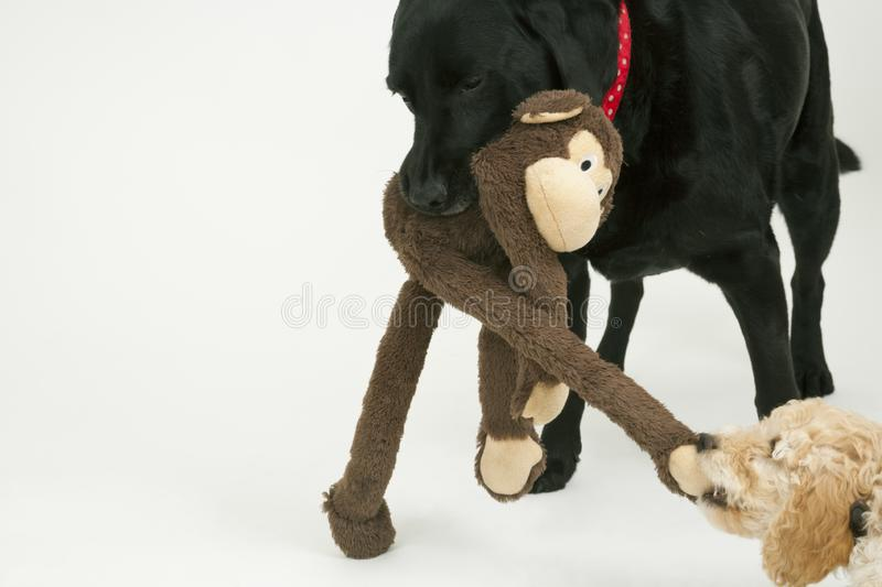 An old black labrador waits as a Cockapoo puppy tries to take a toy away. An elderly black labradorwaits patiently while a cute 12 week old Cockapoo puppy bitch stock images