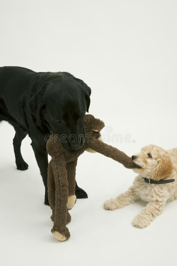 An old black labrador waits as a Cockapoo puppy tries to take a toy away. An elderly black labradorwaits patiently while a cute 12 week old Cockapoo puppy bitch royalty free stock photography