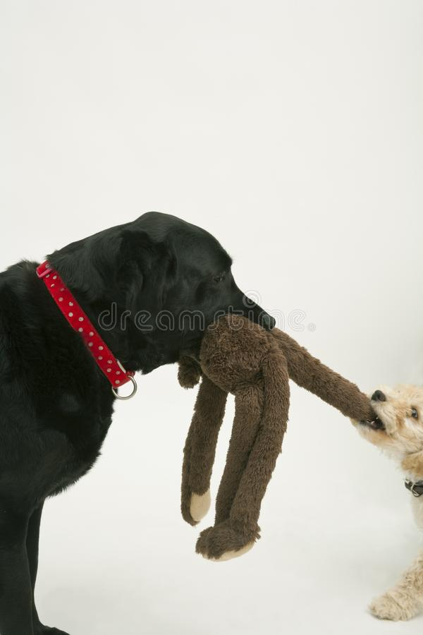 An old black labrador waits as a Cockapoo puppy tries to take a toy away. An elderly black labradorwaits patiently while a cute 12 week old Cockapoo puppy bitch stock image