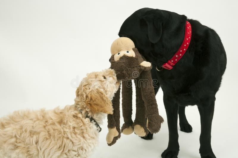 An old black labrador waits as a Cockapoo puppy tries to take a toy away. An elderly black labradorwaits patiently while a cute 12 week old Cockapoo puppy bitch royalty free stock photo