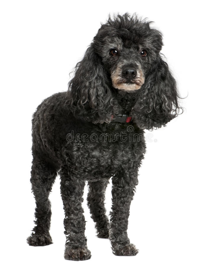 Old black poodle (12 yeras old). In front of awhite background royalty free stock photos