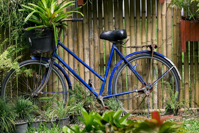 Old blue bike against the bamboo fence. stock image
