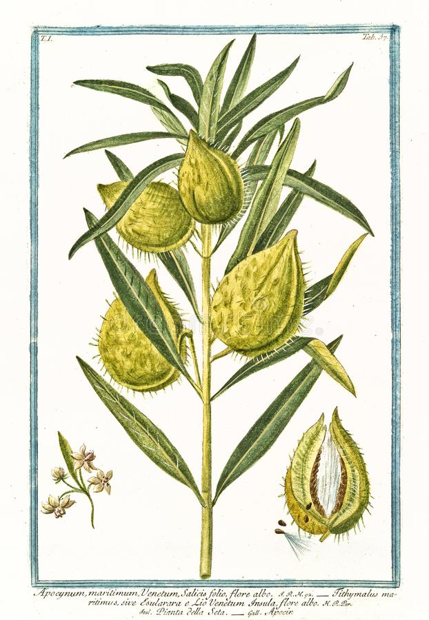 Old botanical illustration of Apocynum maritimum plant stock image
