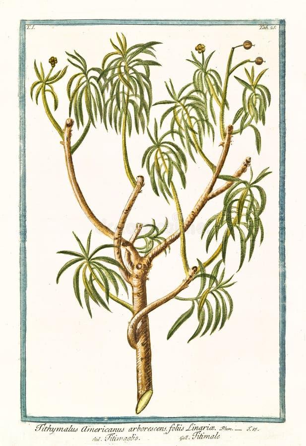 Old botanical illustration of Tithymalus americanus arborescens plant stock images