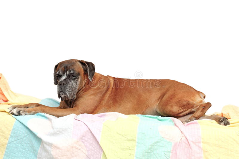 Old Boxer Breed Stock Images