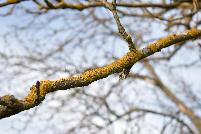Old branch with yellow lichens royalty free stock photo