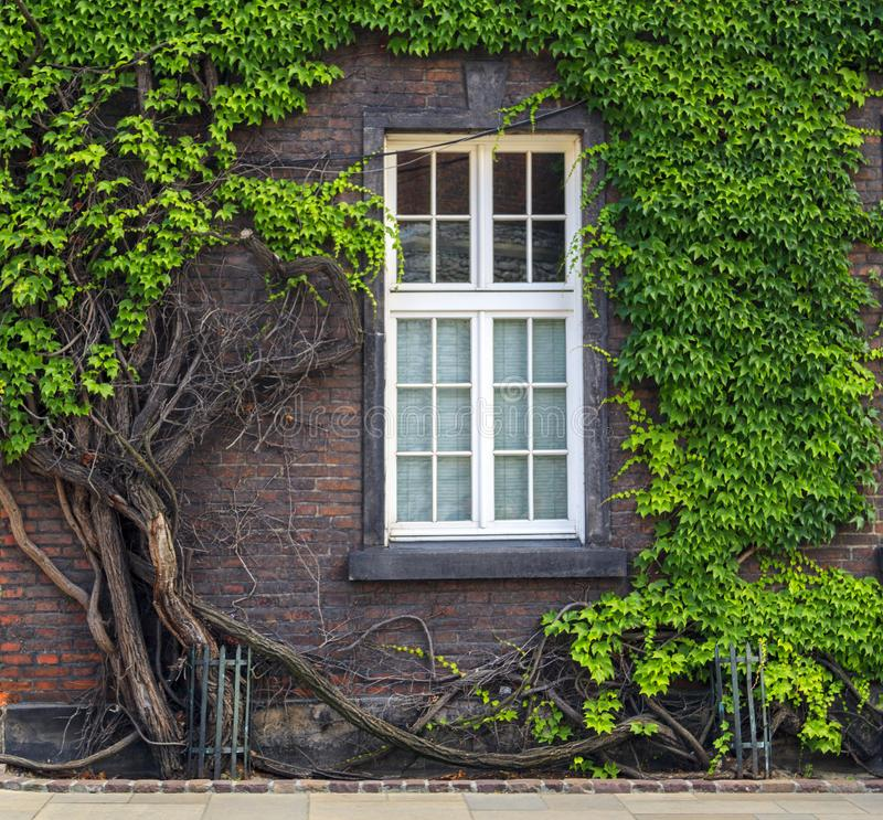 Old brick house with large beautiful windows entwined with green climbing ivy in the castle of Wawel. Wall, poland, summer, building, architecture, krakow stock photo