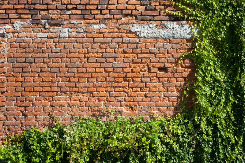 Old Brick Wall Background With Creeping Plants. Old brick wall background copy space with green creeping plants royalty free stock photography
