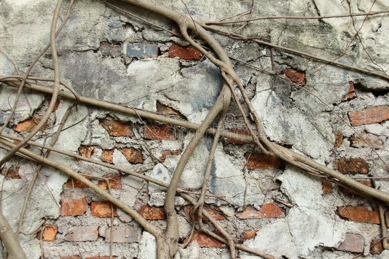 Old brick wall and roots. royalty free stock image