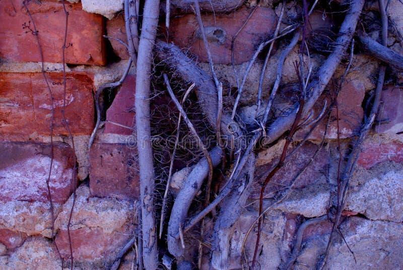 Old brick wall vines. Brick wall in historic downtown Rocky Mount North Carolina royalty free stock image
