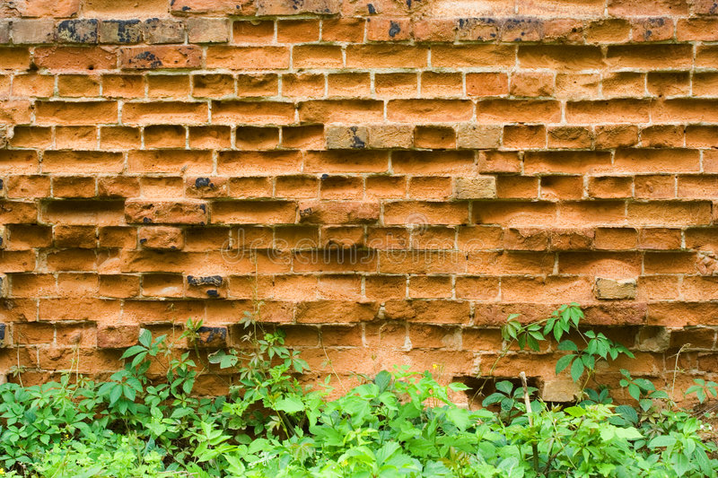 Old brick wall and wild grapes royalty free stock photography