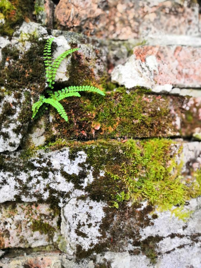 Old bricks with green moss and little ferns background. little tree and moss green ferns are growing on old brick wall royalty free stock photo