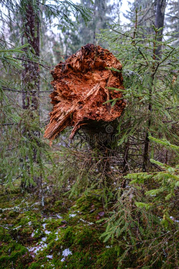 old broken tree trunk stump covered with moss in wet forest stock image
