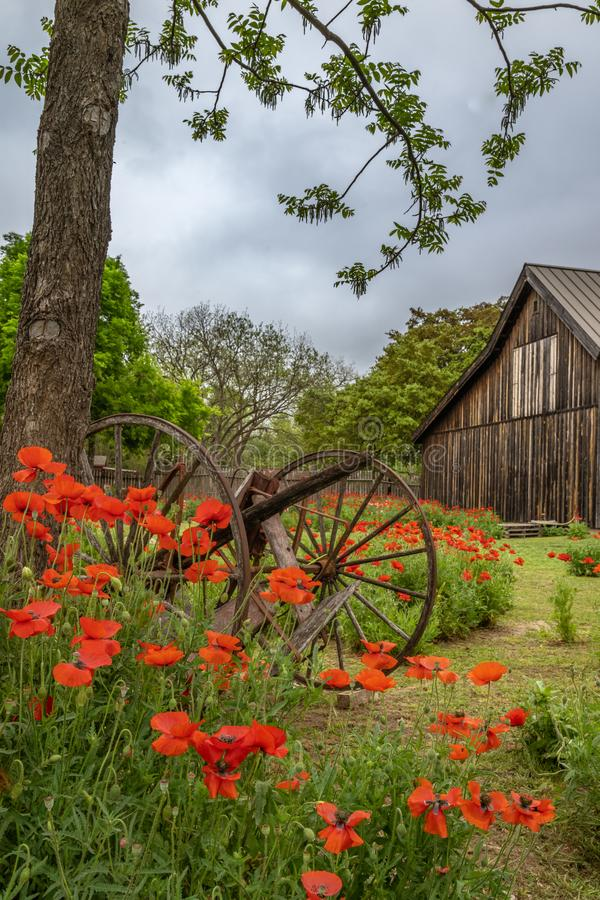 Old broken wagon parts among vivid red poppies. With rustic barn in the background stock images