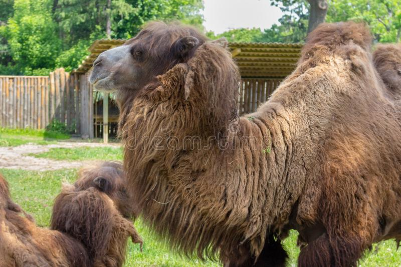 Old brown camel with humpbacks in zoo. Animals in zoo. Old brown camel with humpbacks in zoo. Big camel with brown wool. Animals in zoo stock photo